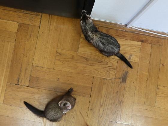 Types of ferrets frida & yoda